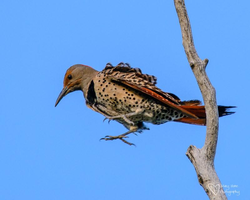 woodpecker jumping