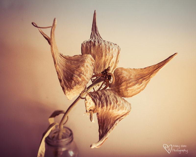 dry milkweed pod