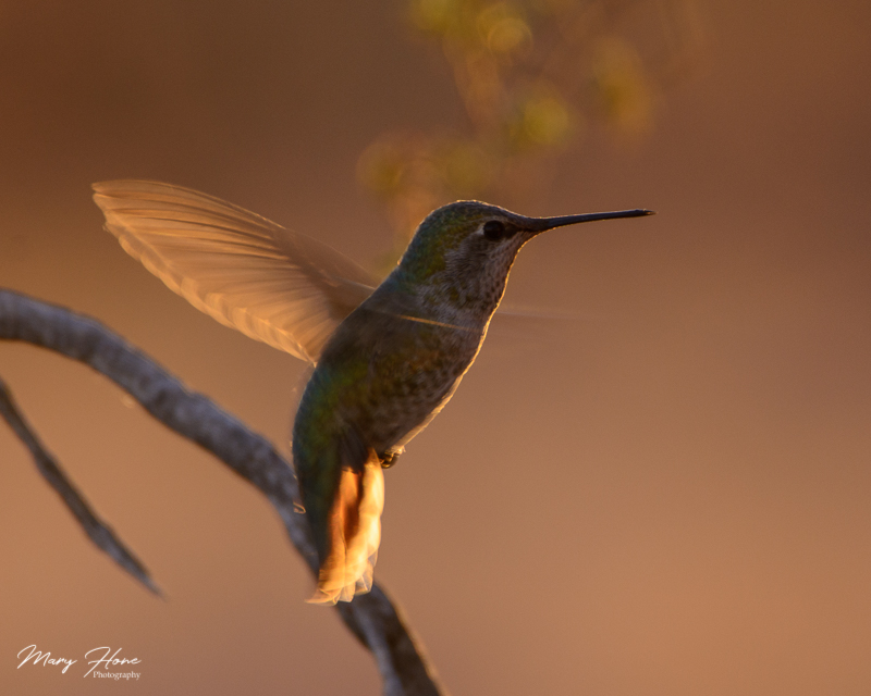 annas hummingbird in flight at sunset