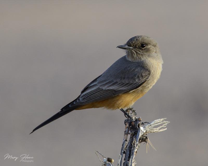 says phoebe bird sonoran desert