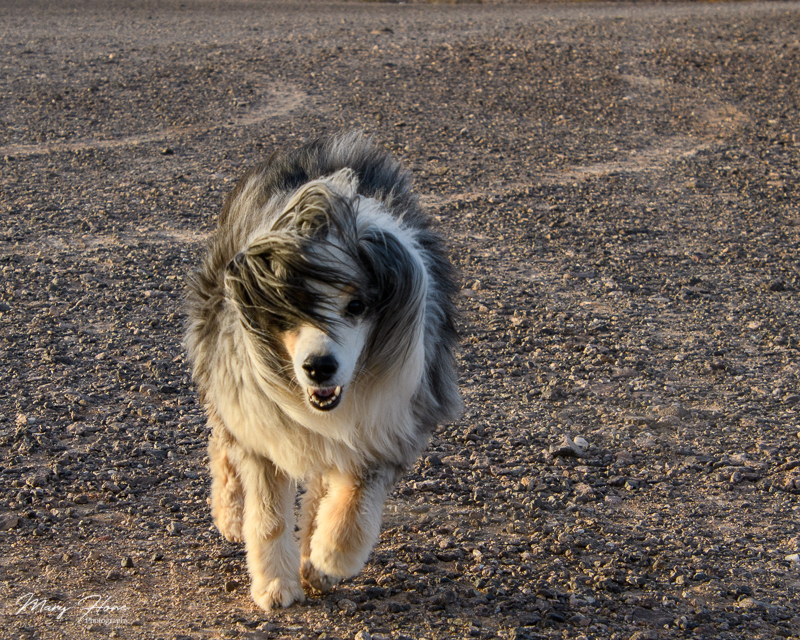 mini aussie in the wind