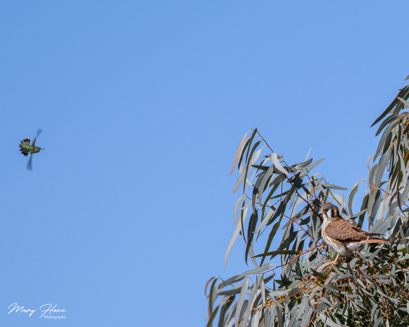 kestrel and hummingbird