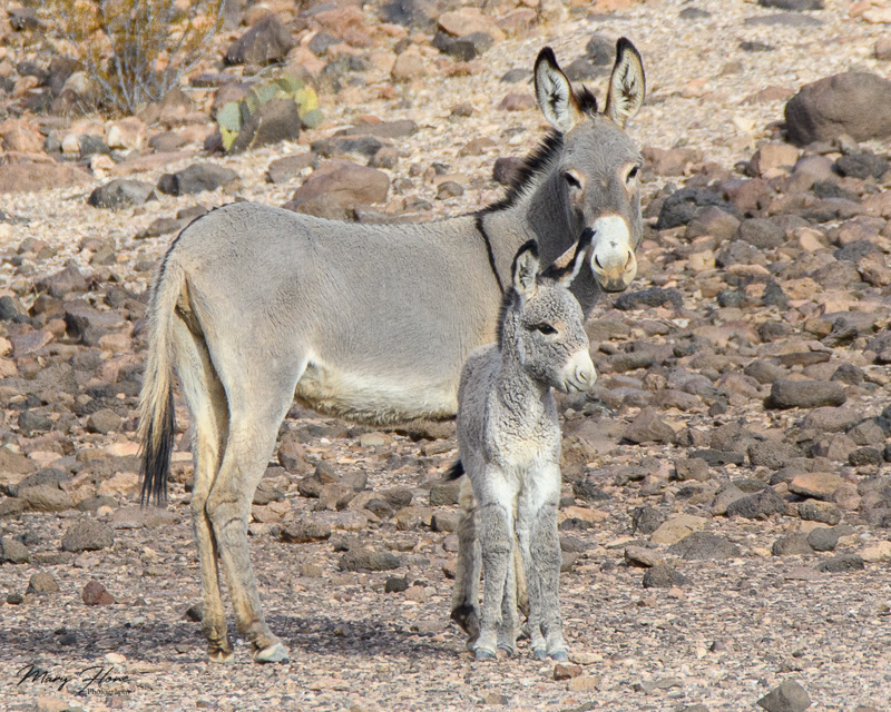 Adorable Wild Baby Burro Part 2