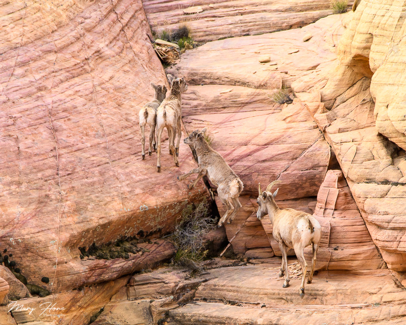 Valley of Fire bighorn sheep