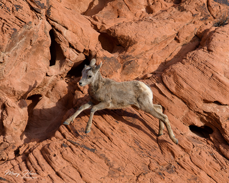 Valley of Fire bighorn sheep lamb