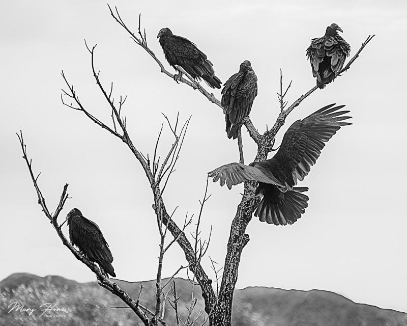 Buzzards in a tree