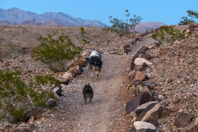 dogs walking in the desert