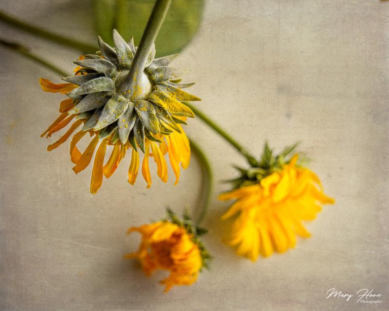 silverleaf sunray flower