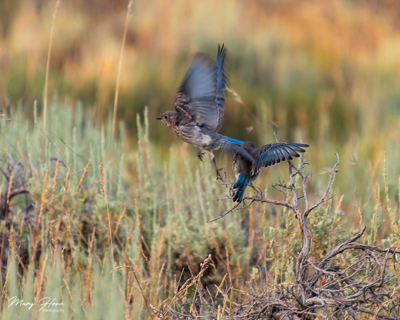 young mountain bluebirds
