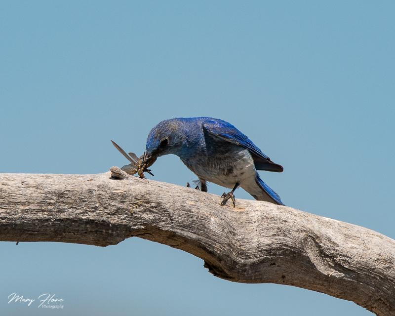 mountain bluebird catching stoneflies in wyoming