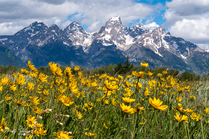 teton and flowers