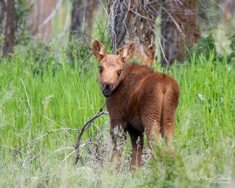baby moose in wyoming