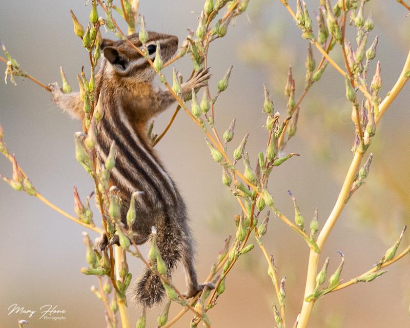chipmunk climbing