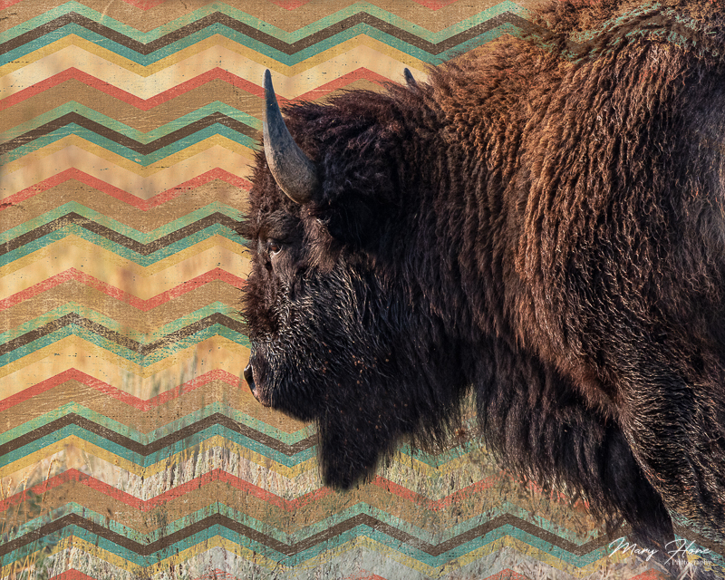 fine art photography, bison