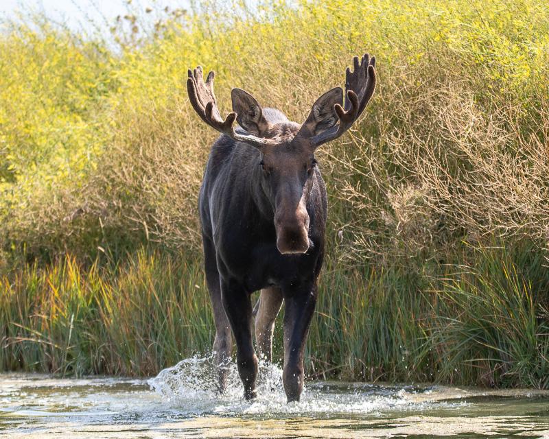 Bull moose in Grand Teton NP