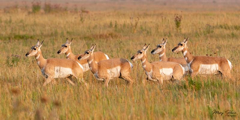 pronghorn antelope group