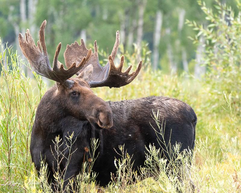 big bull moose