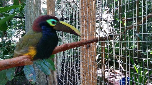 A Toucan at Macaw Mountain Bird Park in Copan Ruinas Honduras