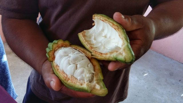 Taste Belize Food Tour - Inside a Cacao Pod At Ixcacao Maya Belizean Chocolate Farm