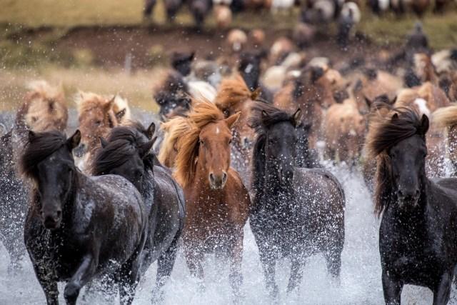 Icelandic Horses - Get to know this unique breed. Unique Activities in Iceland