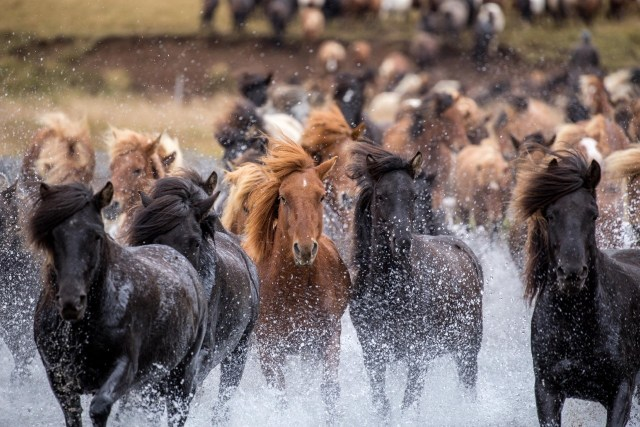 Icelandic Horses - Get to know this unique breed. Unique Activities in Iceland