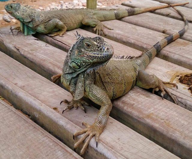 Iguanas at the San Ignacio Resort Hotel Iguana Sanctuary