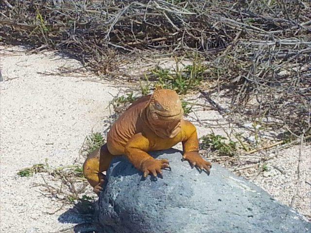 An Iguana in the Galapagos Islands - Backpacking Ecuador Travel Guide