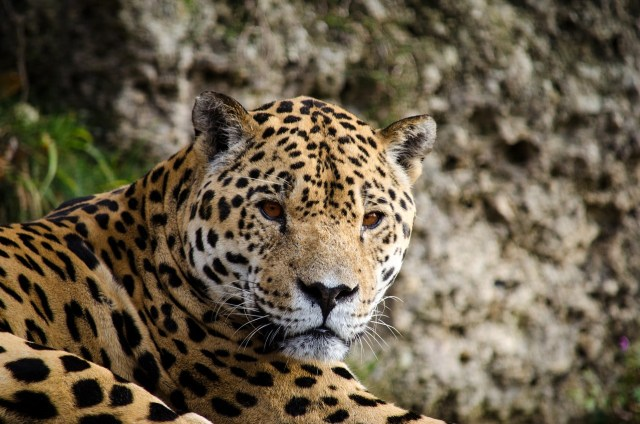 Jaguar - Nature Spotting in the Amazon: Things to do in South America