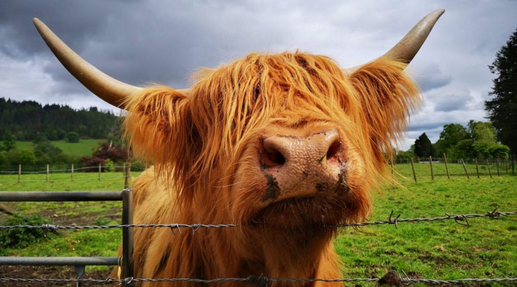 Hazel the Hairy Coo - Big Orange Highland Cow peering over the fence