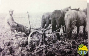 Henry Jr. Schlothauer pulling beets