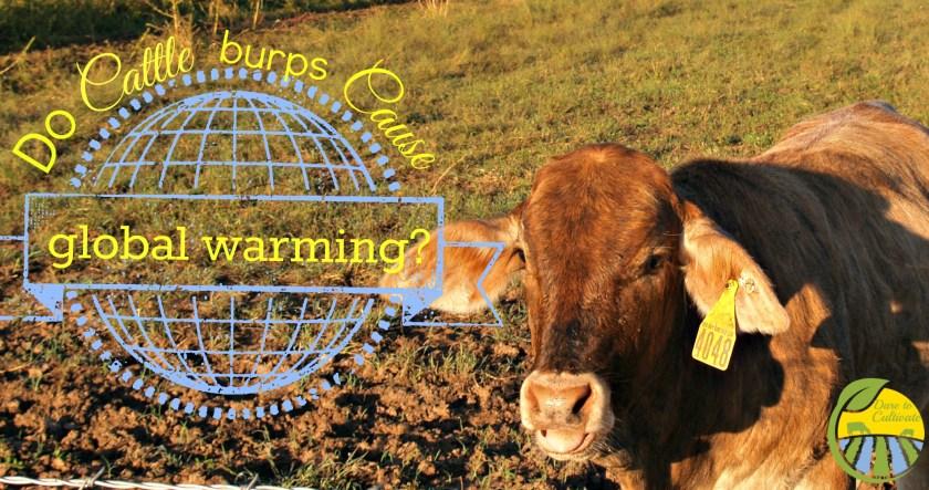 "a heifer belching or ""eructating"""