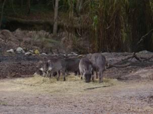 Warthog piglets!!!