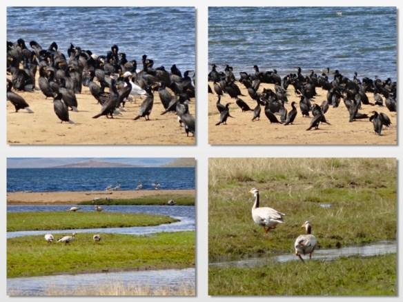 birdlife by lake mongolia