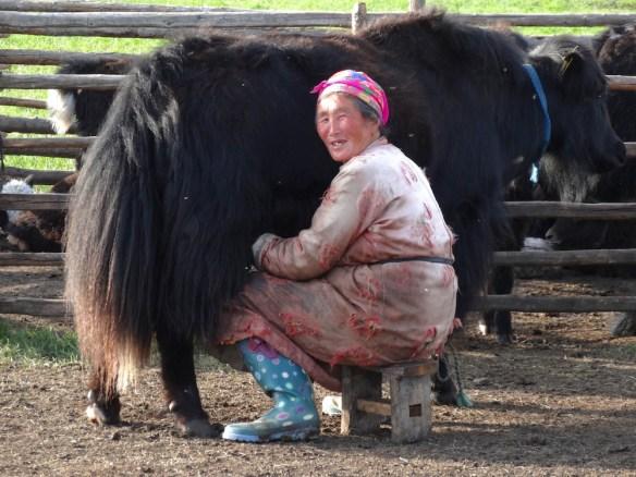 milking yaks mongolia 2