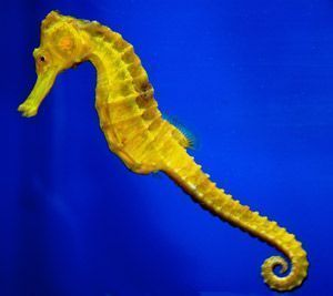 caballito de mar hipocampo
