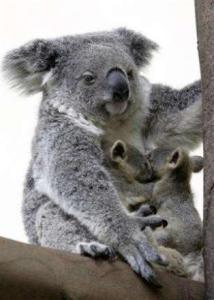koala totem