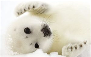 little seal baby