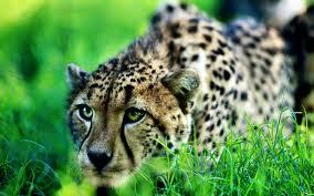 guepardo survivor