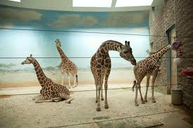 magic giraffe