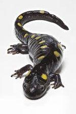 Salamandras.  Salamandra-mc3a1gica