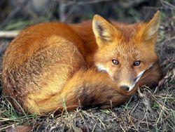 fox totem