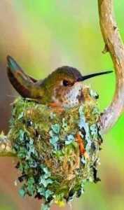 nido con colibrí hembra