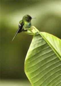 colibri en hoja