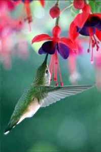 colibri alimentándose