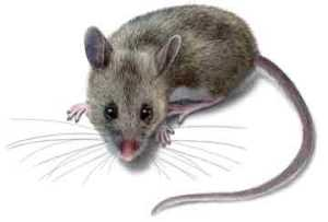 ratoncito