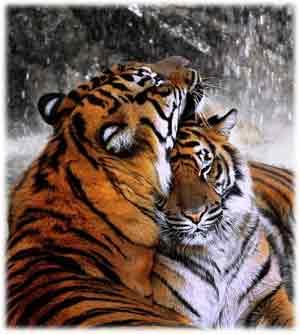 tigre símbolo potencia sexual