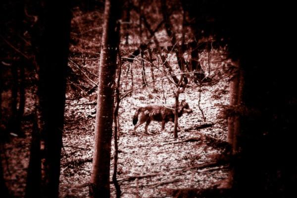 El Bosque - Surreal Wildlife Photography - Wolf