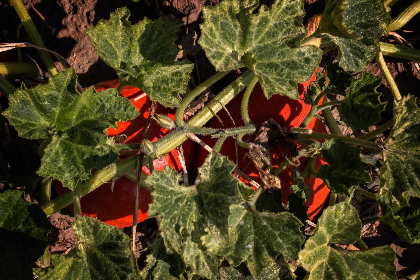 Hokkaidokürbisse unter Blättern