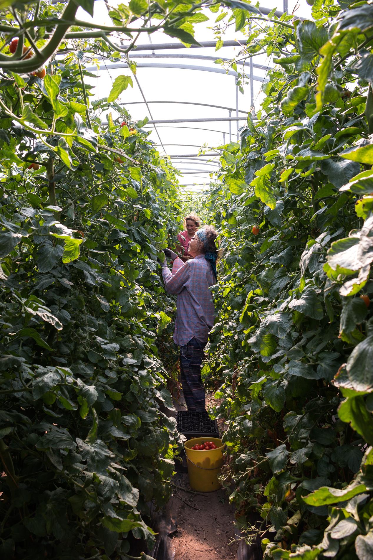 Im Tomatenhaus zwischen den Pflanzen