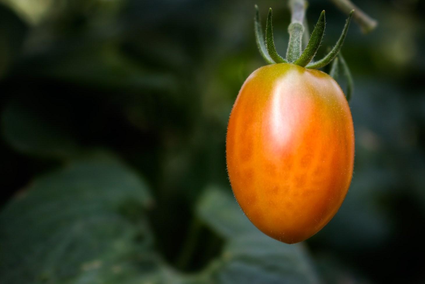 halbreife Tomate
